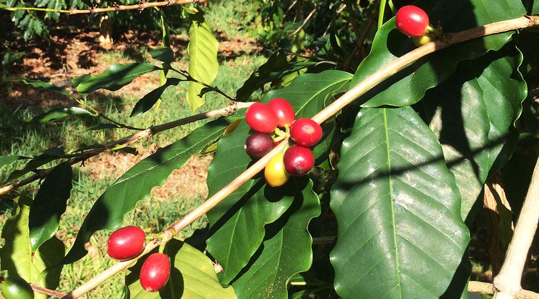 September Coffee Harvest