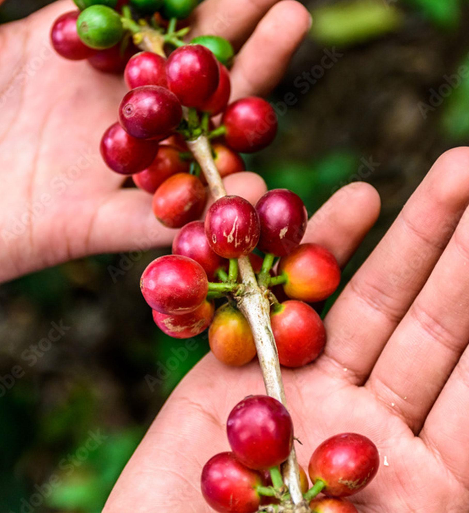 picked ripe coffee berries